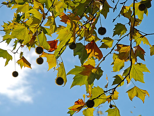 Platanenbaum