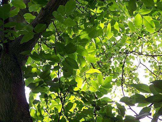 Walnussbaum Baum Juglans Bäume Baumschule